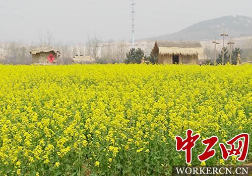 青岛西海岸现代农业发展有限公司总经理助理韩刚告诉记者,油菜花在我