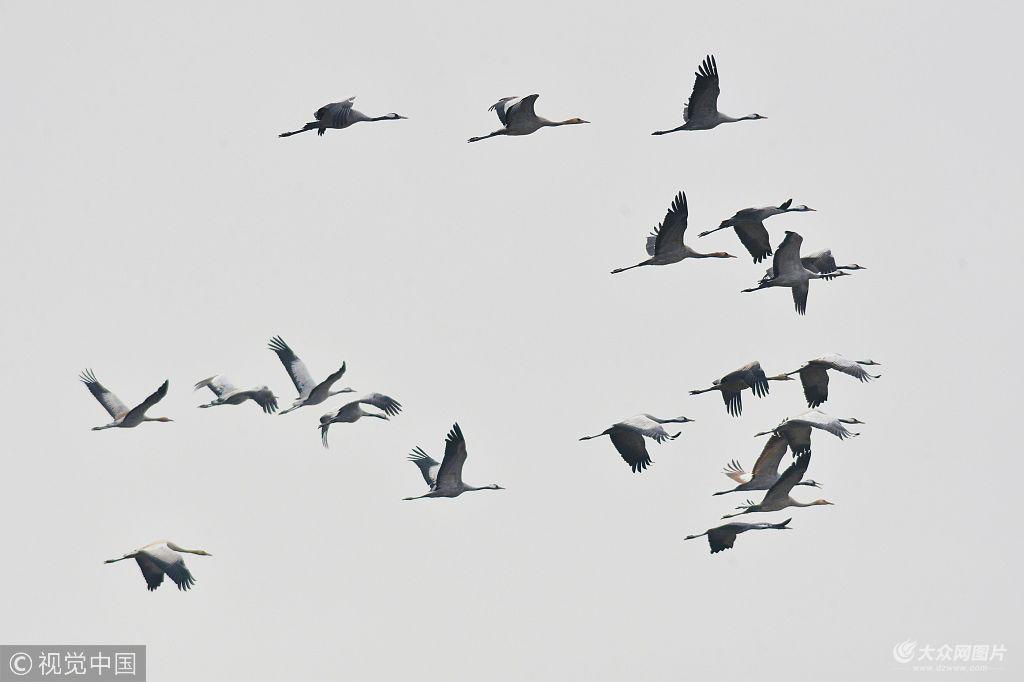 2018年11月29日,在青岛胶州湾湿地灰鹤群越冬觅食画面.